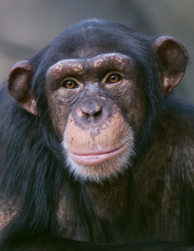 sjimpanse_7485